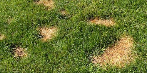 Damaged-Lawn