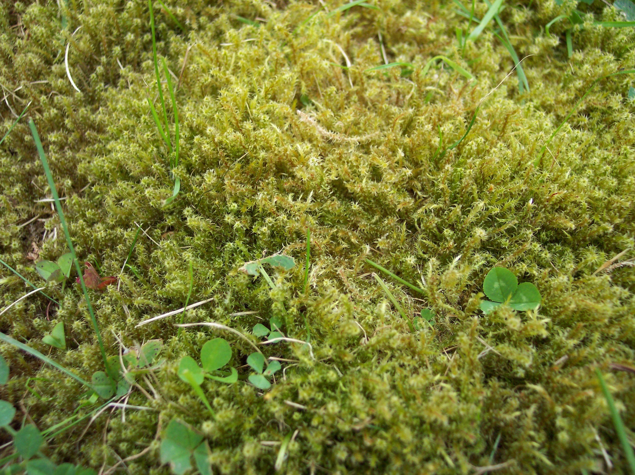 trailing-moss